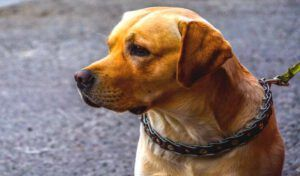How Should You Place a Prong Collar on a Dog Correctly1